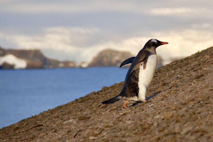Ancient penguin poo reveals population annihilation by volcanic eruption - SCIENCE NEWS.
