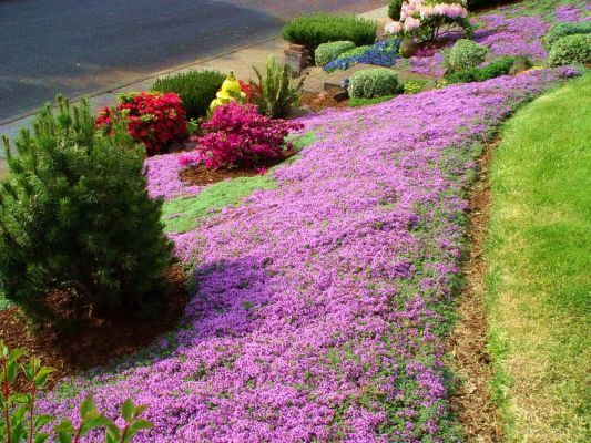 Wooly thyme in place of a standard grass lawn for a more environmentally…
