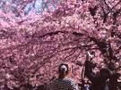 japanese cherry blossom - Google Search
