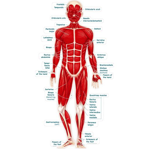 Full Body Muscle Diagram Muscle Anatomy Muscles Body Labeled