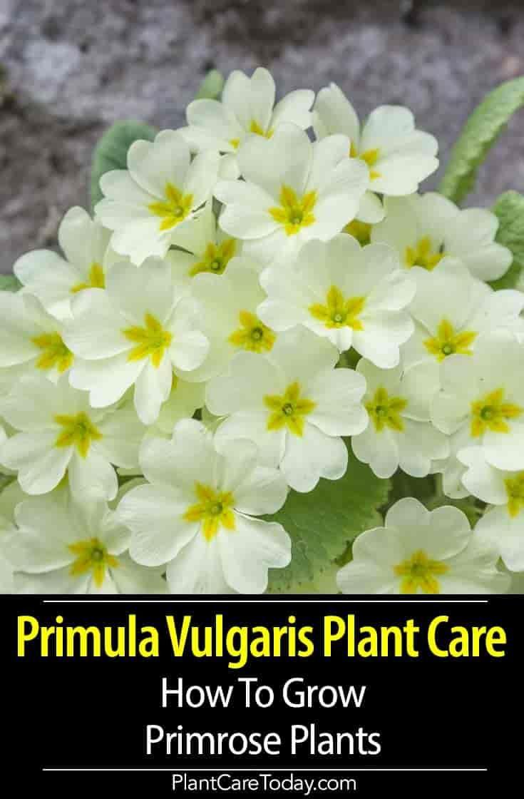Primula Vulgaris Plant Care How To Grow Primrose Primrose Plant