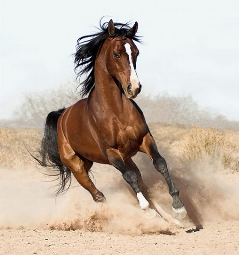 Risultato della ricerca immagini di Google per http://static.cibocanigatti.it/animali-da-cortile/cavalli/cavalli-arabi_O2.jpg