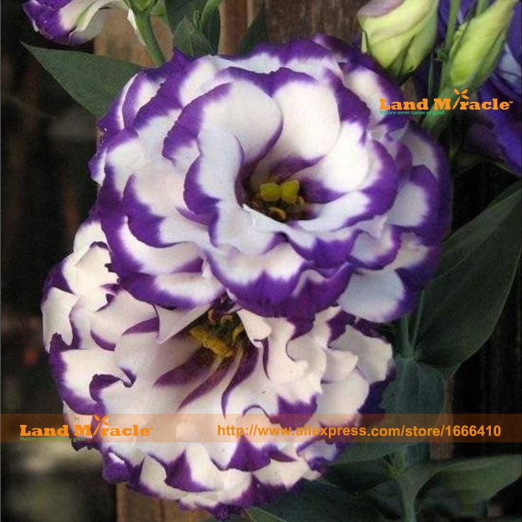 Find More Bonsai Information About 50PCS/PACK, 100% Real 40 Colors Rare  Eustoma Lisianthus Seeds Flower Seeds Bonsai Seeds For Home U0026 Garden,High  Quality ...