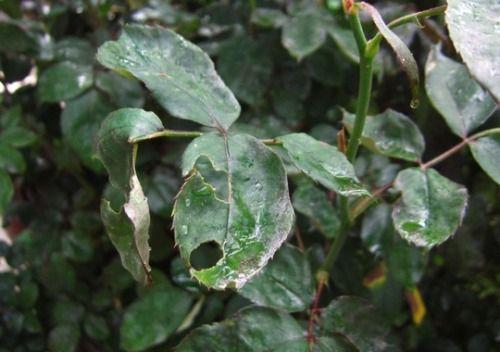 foglie bucherellate: sbarazzarsi degli afidi senza pesticidi, mescolando all'acqua qualche goccia di olio essenziale di cannella!