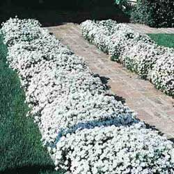 Candytuft....year round flowering everygreen. early spring bloom. full sun. zones 4-8.  I have these they like a trim back , after bloom to keep them thick. snip flower buds off...or let them cascade for a ground cover.