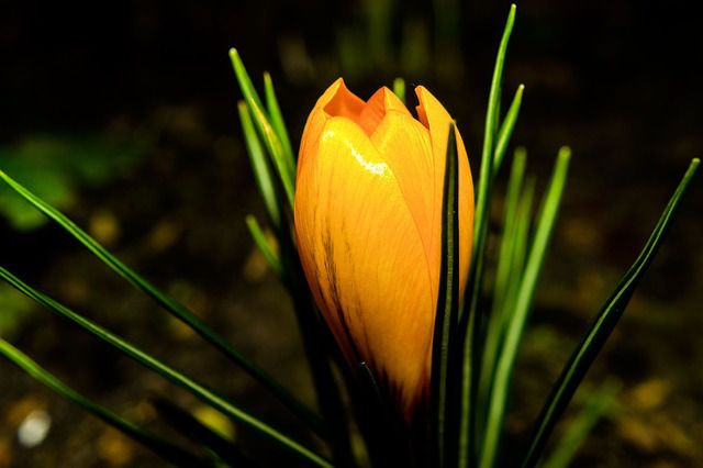 http://pixabay.com/en/flower-winter-crocus-yellow-plant-636549/