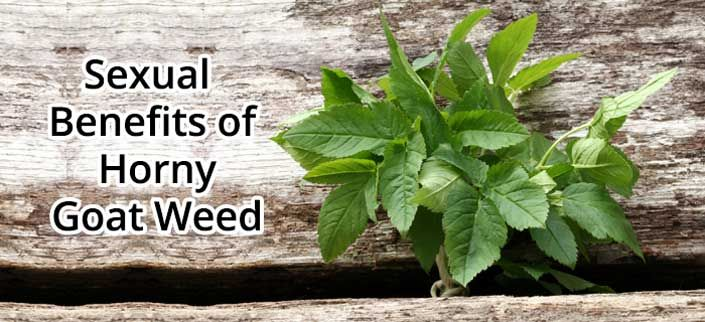 Uses of horny goat weed