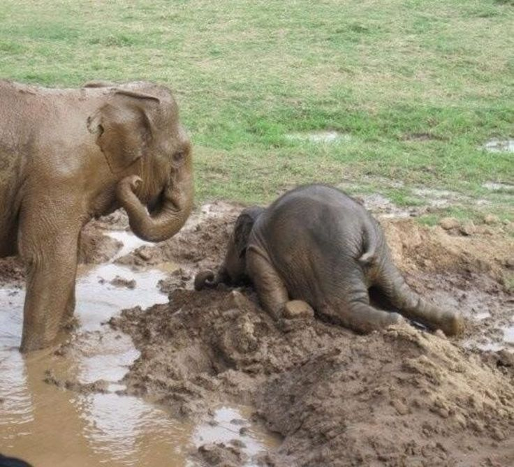Did You Know: Baby Elephants Like to Throw Tempter Tantrums By Throwing Themselves In the Mud