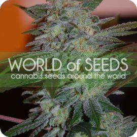 Yumbolt 47 - strain - World of Seeds | Cannapedia
