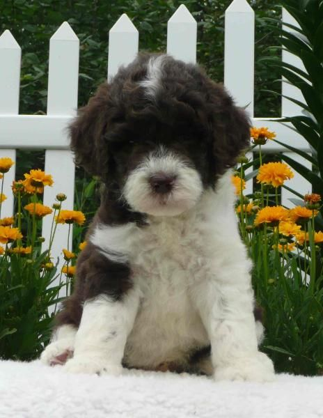 Mini Goldendoodle Breeder - Ontario, Canada Goldendoodle Puppies