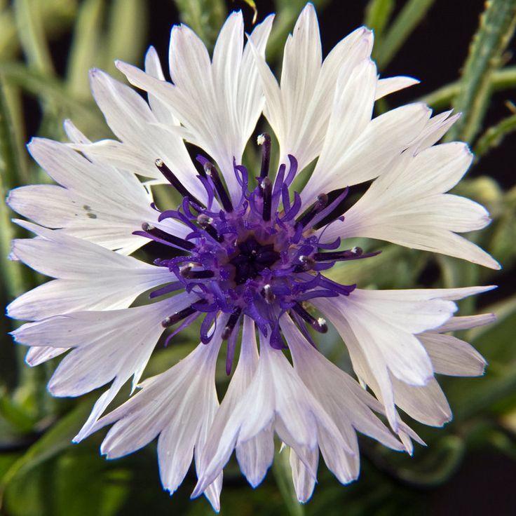 CORNFLOWER CLASSIC FANTASTICA wild cornflower (Bachelor's Button) growing along the roadside in southern Oregon