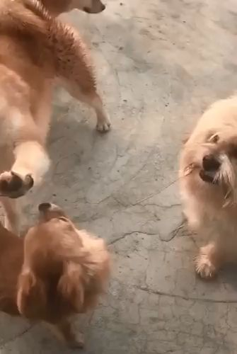 Big Dog Just Wants To Play With Puppy