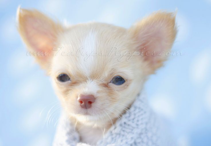 Beautiful Blonde Chihuahua Puppy With Images Chihuahua Puppies