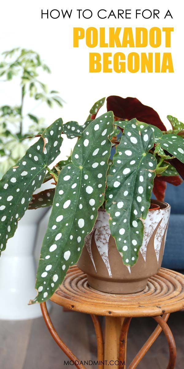 Begonia Maculata How To Care For A Polkadot Plant With Images