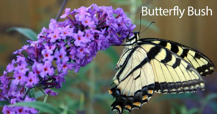The butterfly bush, Buddleia plant a wonderful garden plant addition to attract butterflies the also make great potted container gardening bushes.