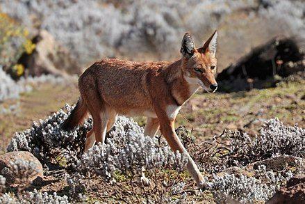 Ethiopian wolf (Canis simensis citernii).
