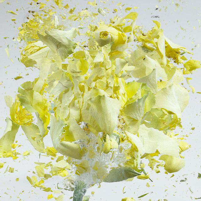 High speed photographs of exploding flowers dipped in liquid nitrogen by Martin Klimas.   See many more at the link:  http://www.thisiscolossal.com/2013/09/high-speed-flower-explosions-by-martin-klimas/
