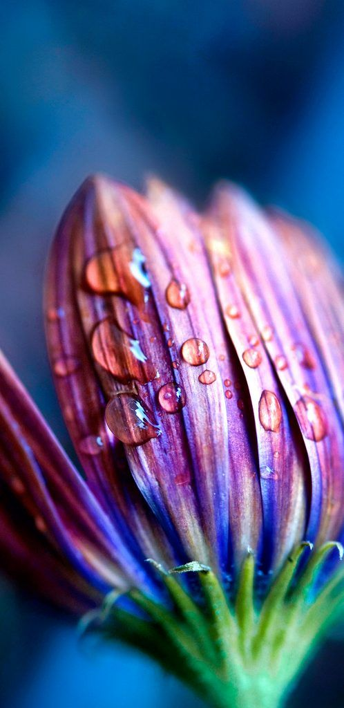 Macro Photo Of Flower Bud And Water Drop For Samsung Galaxy S9
