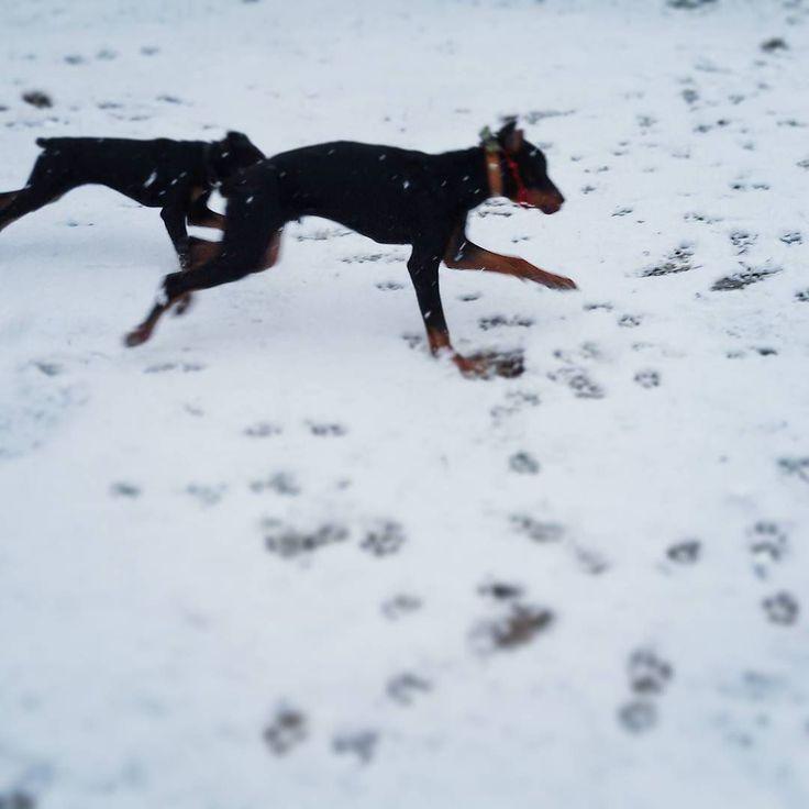 #Last #snow  in #december #2015 for #junior #doberman #Tarzan  & #pretty #girl #LadyMiMiKo #Последний #снег в #декабрь #2015 для #юниор #доберман #Тарзан и #очаровательная #ЛедиМиМиКо.   #dobermanpride #dobermann #dober #dobermansofinstagram #dobby #dobylove #dobermans #puppy #dog #dogs #snow #winter