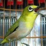 Burung Pleci Agar Gacor dan Rajin Bunyi