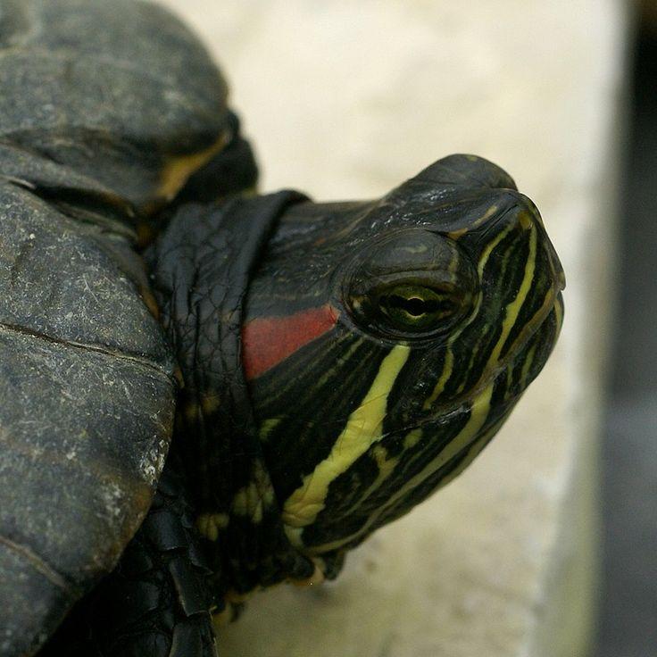 http://faaxaal.forumactif.com/t2098-tortue-de-floride-tortue-a-tempe-rouge-trachemys-scripta-elegans#8915
