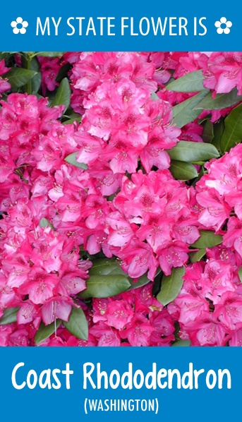 #Washington's state flower is the Coast Rhododendron. What's your state flower? http://pinterest.com/hometalk/hometalk-state-flowers/
