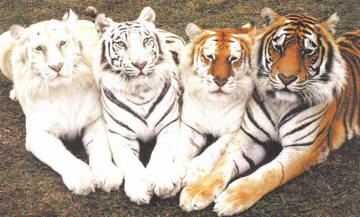 """Tiger color variations. From left to right: """"ghost,"""" white, golden tabby, and typical."""