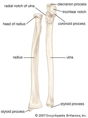 Ulna - has a semi-lunar notch which articulates with the humerus and styloid process to articulate with the radius. Description from npskeletal3.wikispaces.com. I searched for this on bing.com/images