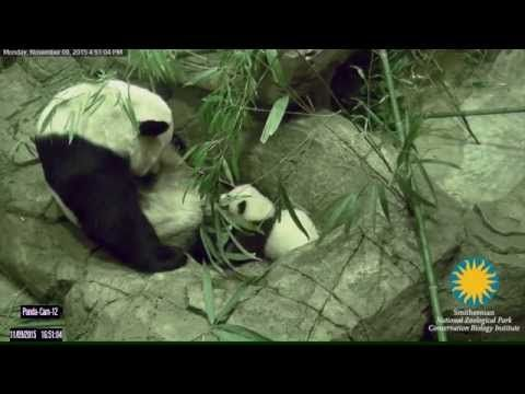 Bei Bei the Panda Cub Takes First Steps, is Rewarded with Hugs from Mama - Neatorama