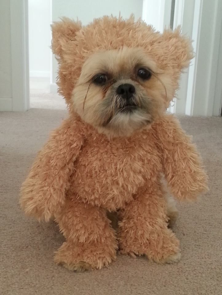 It turns out that simply taking a pair of scissors to a stuffed animal is all you have to do in order to outfit your own pooch with an almost disturbingly adorable teddy bear costume.