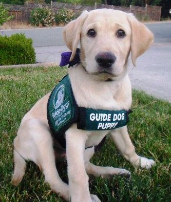 Guide dog for the blind in training :) Someday my daughter will raise a guide dog puppy just like I did..the coolest experience EVER!!