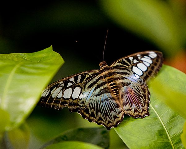 Asian butterfly white