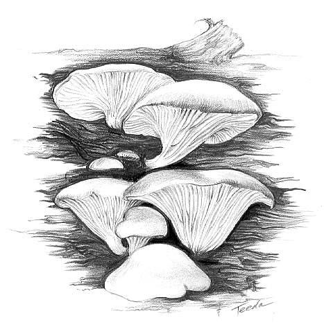 Oyster Mushrooms. How to prepare, plus recipes for mushroom chowder, mushrooms and scrambled eggs, mushroom stir fry, and chicken with mushrooms and champagne sauce.