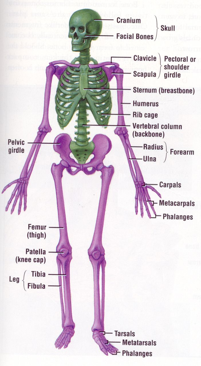 Detailed explanation of the skeletal system