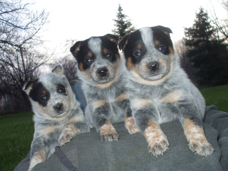 Blue heeler puppies raised by cattle dogs rule ! #blueheeler #puppy #cattle dog #queensland 4/24/14 775-800-3170