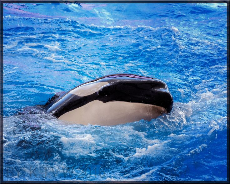 https://flic.kr/p/JoFyZG   Why An Orca?   Because it's possible!  Before&After Version: www.flickr.com/photos/116827835@N07/27489067733/in/photos...