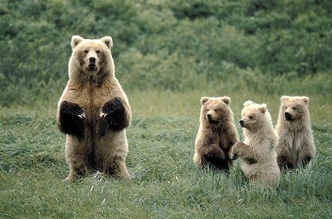 Brown Bear Female with three cubs (Ursus arctos) all standing up on their hind legs. Description from alaska-in-pictures.com. I searched for this on bing.com/images