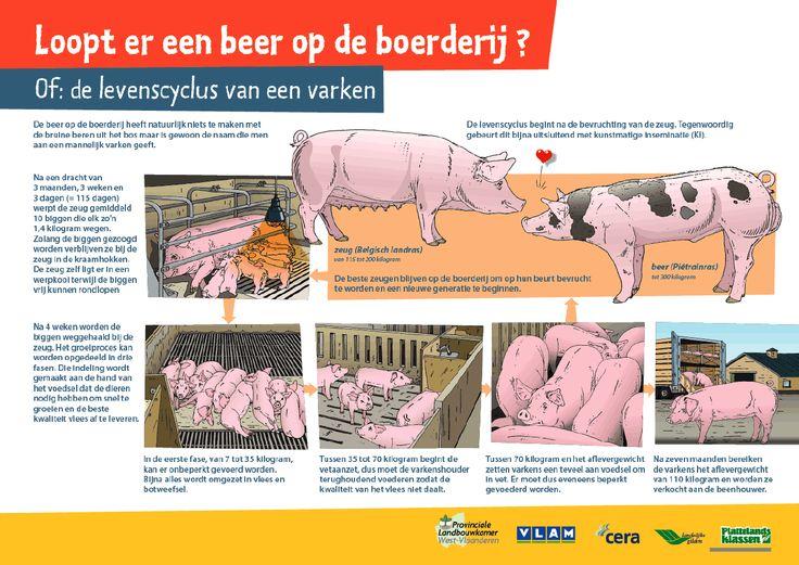 Loopt er een beer op de boerderij?  Of: de levenscyclus van een varken.