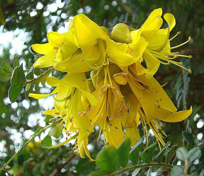 PELU - Sophora cassioides, flores