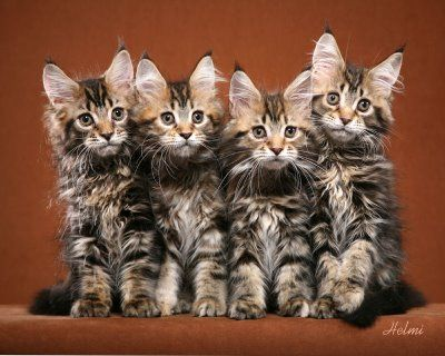 maine coon kittens. my mom just got two. they get huge!