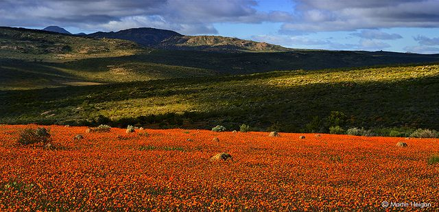 The wildflowers of Namaqualand   Flickr - Photo Sharing!
