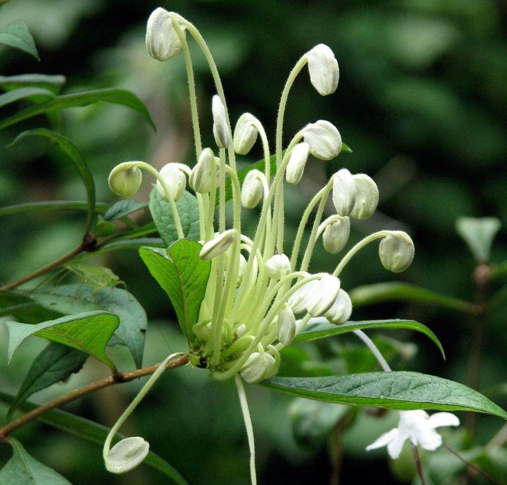 La planta de la nota musical (incisum de Clerodendrum) es una planta tropical de Nigeria