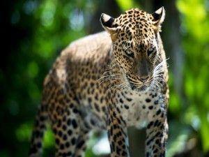 Un bonito leopardo