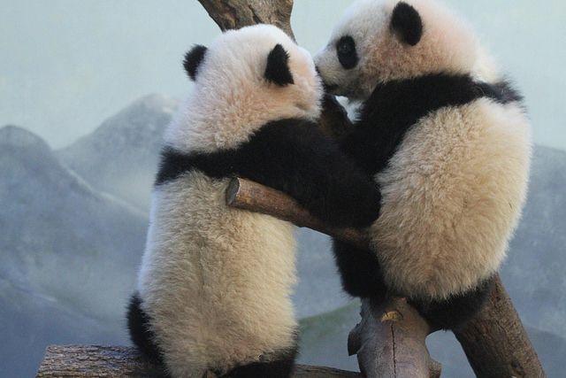 Jeroen Jacobs 2014 01 16 Zoo Atlanta - Lun Lun, Mei Lun & Mei Huan 008
