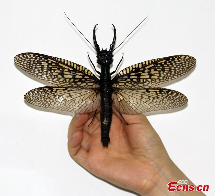 [just a big friggin' Dobsonfly] World's largest—and most gross—aquatic insect discovered in China