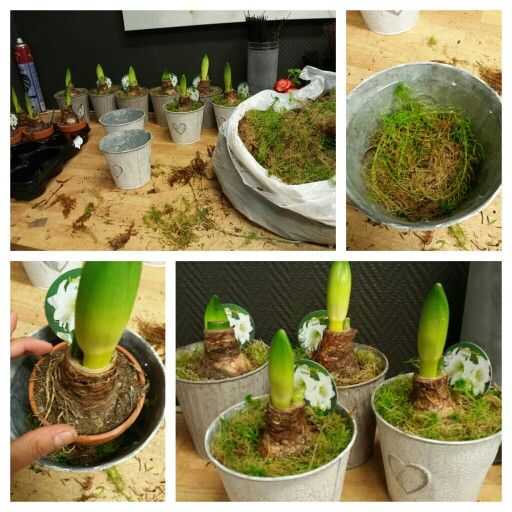 Dekorer Amaryllis med mose