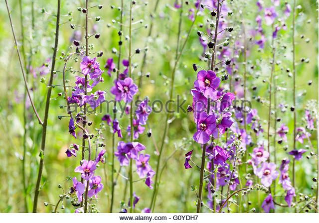 A meadow full of violet Verbascum phoeniceum under the warm spring sun - Stock Image