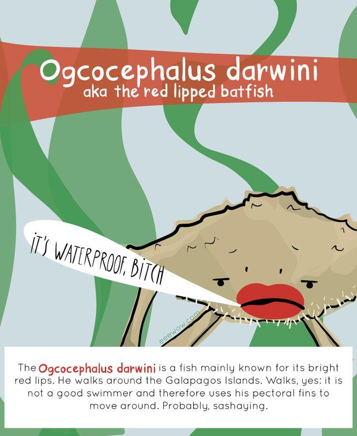 EEEW #001: OGCOCEPHALUS DARWINI (aka the red lipped batfish)