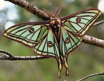 Spanish Moon Moth, native to Spain and France; ...they are huge - their wingspan can be 2.5 inches to almost 4 inches wide!;  males have much longer 'tails'