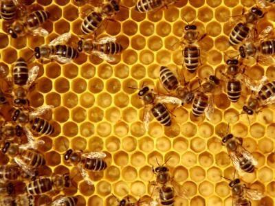 Así vacunan las abejas reina a las crías de la colmena